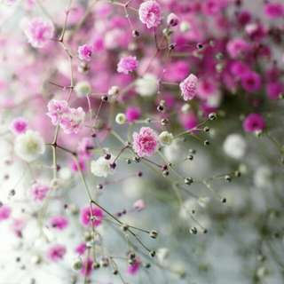 Gardening ♡ Pink Baby Breath Seeds X 20