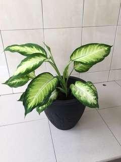 Dieffenbachia (Leopard Lily) in clay pot (medium)
