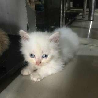 Kucing Persia Flat Nose 2 Bln, Bulu Kapas, Lebat