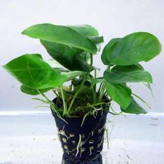 Anubis  aquatic plant(BUY 3 GET1 RANDOM Aquatic plant)