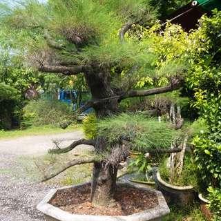 New bonsai casuarina Australian pine