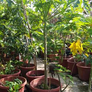 Grow a papaya tree