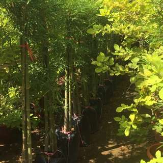 5 bags of stone bamboo 1.5m tall