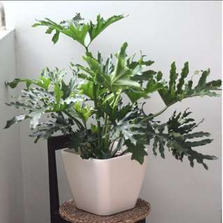 3 pots of philodenron sellum