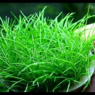 Japanese aquatic  hairgrass