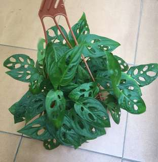 Swiss cheese plant / split leaf philodendron