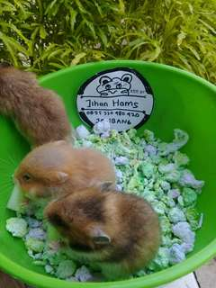 Hamster syirian SH
