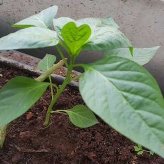 Organic yellow Capsicum peppers seedlings