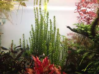 Limited stalks available - Rotala bonsai sp