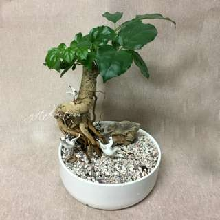 This Month Special: Bonsai Happiness Tree