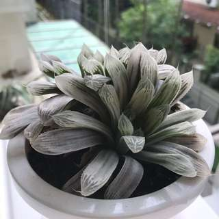 Haworthia Silver Swirl (Super Big)