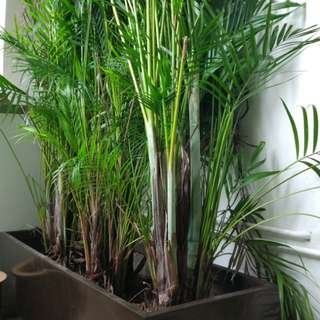 Fiberglass planter with 2 meter yellow palm