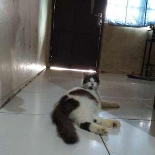 Kucing persia.lg hamil
