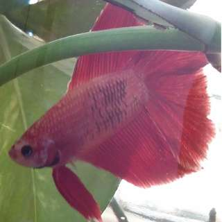 Betta Fighting Fish Tank / Bottles / Glass Containers $12 each / 4 at $45!