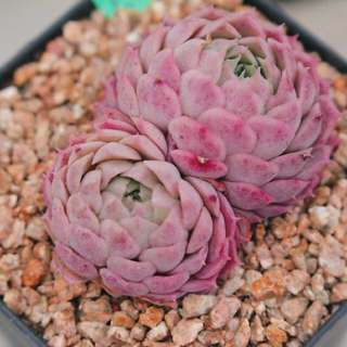 😍RARE SUCCULENTS: S039 - Pink Peaches Pair (FIRST COME FIRST SERVE! VERY LIMITED STOCKS!)😱