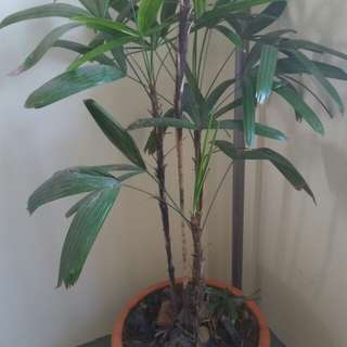 Plant Rhapis Palm