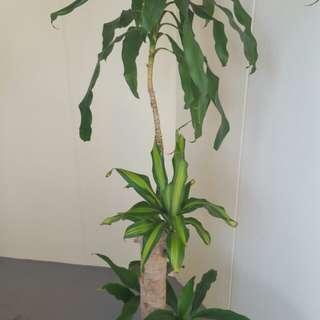 Plant Dracaena Fragrans
