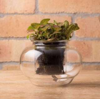 Glass self-watering pot (w/ Fittonia 'Red Vein' plant)