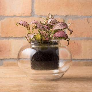 Glass self-watering pot (w/ pink Fittonia)