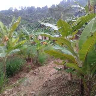Tanah kebun 2 hektar