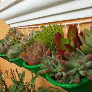 Lowland adjusted succulents large