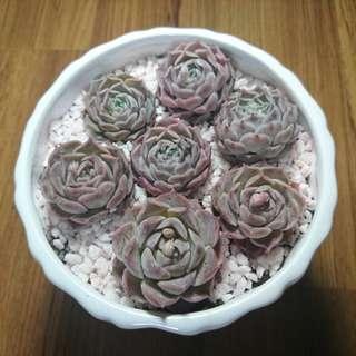 Pink succulent terrarium