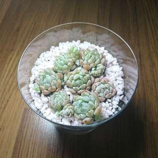 Colorful Succulent terrarium