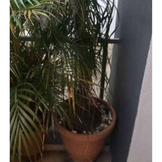 Tall beautiful 2 lolina plants for sale