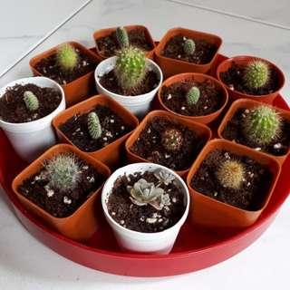 Cactus & Keiko Succulent