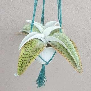 掌上珠/Donkey's ear/Life plant @Kalanchoe