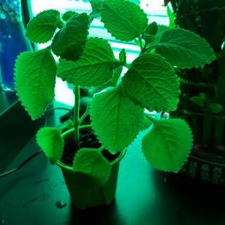 Healthy pot of indian borage / Mint plant