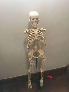 Human skeleton Show piece