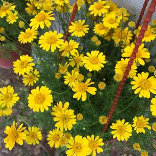 Dahlberg Daisy, Golden Fleece, Pricklyleaf, Shooting Star (Thynophylla tenuiloba)