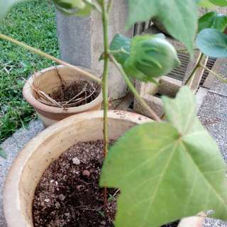5 Organic Cotton Plant Seeds