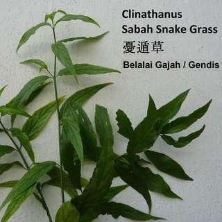 Freshly Packed 200pcs Sabah Snake Grass