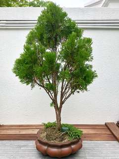 Large Formosan Taiwan Cypress 台灣扁柏