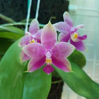 Phalaenopsis Penang Ruby x Lisa Quek