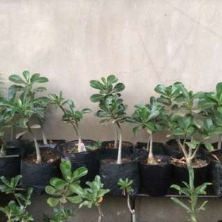 adenium for sale