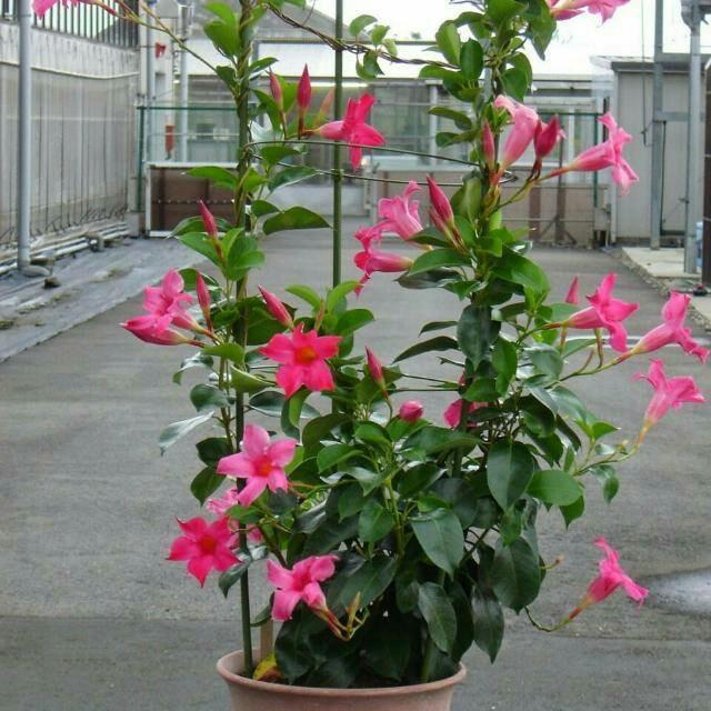 Jual Bunga Air Mata Pengantin Gardening On Carousell