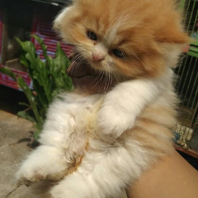 Download 66+  Gambar Kucing Persia Flatnose Longhair Imut HD