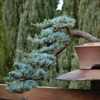 Gardening ♡ Colorado Blue Spruce Bonsai Trees Seeds (PICEA PUNGENS)  X 15