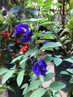 Blue Pea Flower (Clitoria -Double Layer)