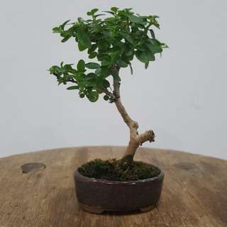 Mini Premna Bonsai 寿娘子