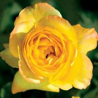 Gardening ♡ Summer Surprise Rose Seeds X 20
