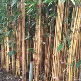 Jual Pohon Bambu Kuning |Pohon untuk pagar