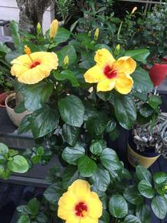 Yellow hibiscus (big flower)