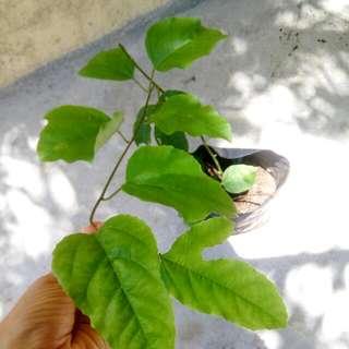 Passion Fruit/Markisa Plant