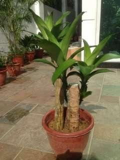 African Bamboo