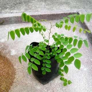 Starfruit/Belimbing Plant