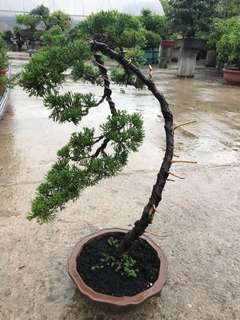 Bonsai juniper 真柏